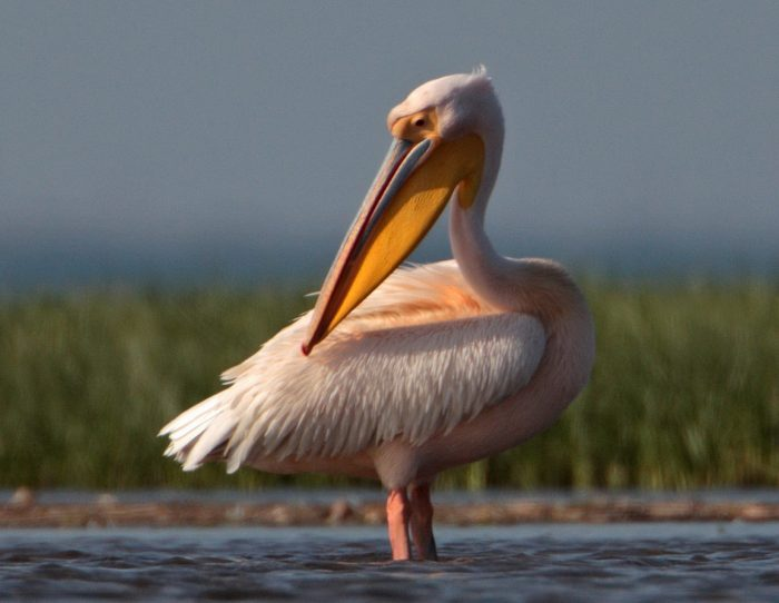 пеликан держатель полок